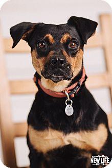 Rottweiler/Beagle Mix Dog for adoption in Portland, Oregon - Bebe