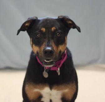 Australian Shepherd/Beagle Mix Dog for adoption in Naperville, Illinois - Athena