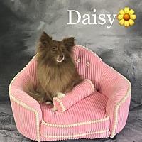 Adopt A Pet :: Daisy Duke - Dallas, TX