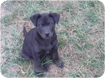 Labrador Retriever/Husky Mix Puppy for adoption in Cincinnati, Ohio - Puppy_DOMINIC