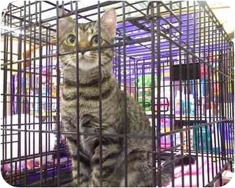 Domestic Shorthair Cat for adoption in Geneva, Illinois - Mentos