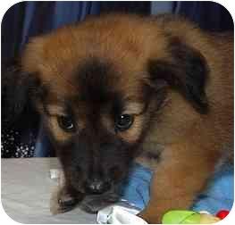 Labrador Retriever/Retriever (Unknown Type) Mix Puppy for adoption in Broomfield, Colorado - Thor