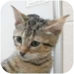 Domestic Shorthair Kitten for adoption in Wheaton, Illinois - Sweetness