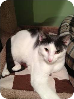 Domestic Shorthair Cat for adoption in East Hanover, New Jersey - Hickory