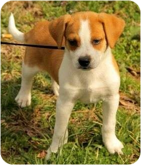 Beagle Mix Puppy for adoption in Staunton, Virginia - Darby