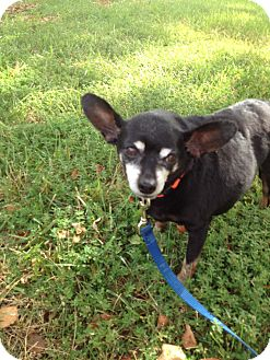 Chihuahua Mix Dog for adoption in LaGrange, Kentucky - Batman