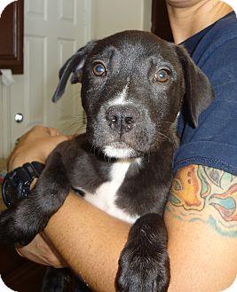 Labrador Retriever/American Pit Bull Terrier Mix Puppy for adoption in Nuevo, California - Caper