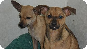 Miniature Pinscher/Chihuahua Mix Dog for adoption in Seattle, Washington - Tradition
