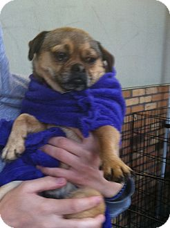 Pug Mix Dog for adoption in North Hollywood, California - Mugsy