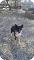 Border Collie/Australian Shepherd Mix Dog for adoption in Las Vegas, Nevada - Honcho