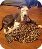 Pit Bull Terrier/Terrier (Unknown Type, Medium) Mix Dog for adoption in Washington, D.C. - Miss Juniper Breeze