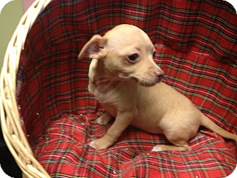 Dachshund/Chihuahua Mix Puppy for adoption in Yelm, Washington - Kain