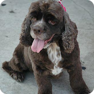 Cocker Spaniel Dog for adoption in Sacramento, California - Khia