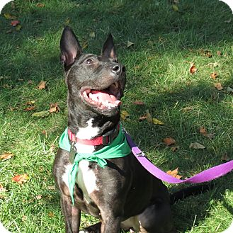 Bull Terrier Mix Dog for adoption in Columbia, Illinois - Val