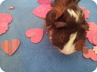 Guinea Pig for adoption in Fullerton, California - Wallace