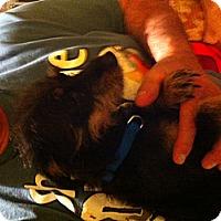 Adopt A Pet :: Chorky - batlett, IL