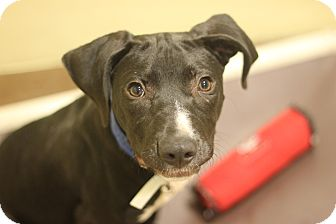 Labrador Retriever/Catahoula Leopard Dog Mix Puppy for adoption in Chicago, Illinois - Lennon