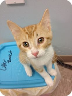Domestic Shorthair Kitten for adoption in Byron Center, Michigan - George