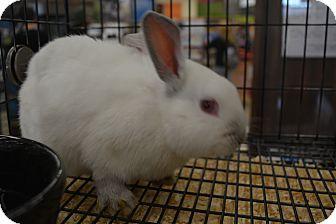 Dwarf Mix for adoption in Ogden, Utah - Hopscotch