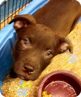 Labrador Retriever Mix Puppy for adoption in Pompton Lakes, New Jersey - Choc lab pup