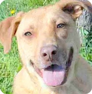 Labrador Retriever Mix Dog for adoption in Winchester, Kentucky - PHEOBE(WHAT A SAD STORY!!