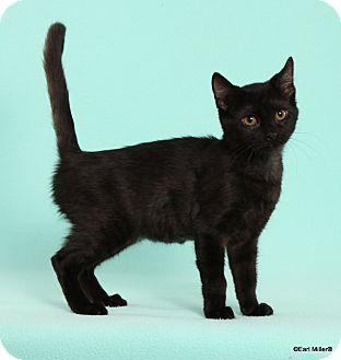 Domestic Shorthair Cat for adoption in Las Vegas, Nevada - Kimmy