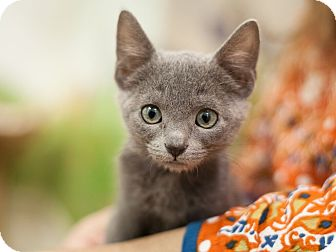 Domestic Shorthair Kitten for adoption in Dallas, Texas - Ellen