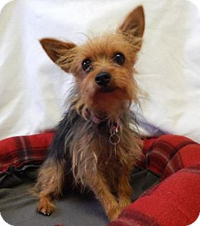 Yorkie, Yorkshire Terrier Mix Dog for adoption in The Dalles, Oregon - Mariah