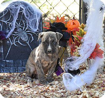 German Shepherd Dog Mix Puppy for adoption in Groton, Massachusetts - Louisa