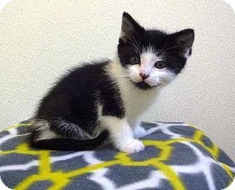 Domestic Shorthair Kitten for adoption in Lathrop, California - Benny