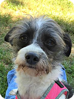Shih Tzu/Terrier (Unknown Type, Small) Mix Dog for adoption in Siler City, North Carolina - Sophia
