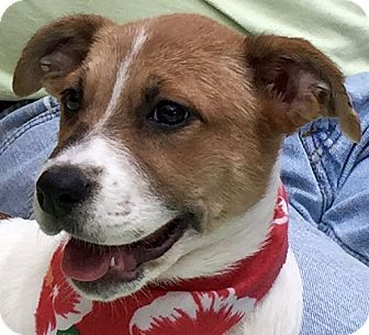 Australian Cattle Dog Mix Puppy for adoption in Evansville, Indiana - Shelly
