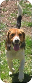 Beagle Dog for adoption in Portland, Ontario - Boomer