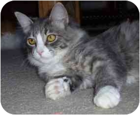 Domestic Mediumhair Cat for adoption in Oak Park, California - Zoey