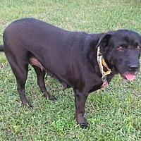 Labrador Retriever/Shar Pei Mix Dog for adoption in Royal Palm Beach, Florida - Amity
