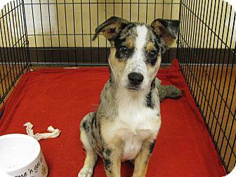 Australian Shepherd Mix Puppy for adoption in Groton, Massachusetts - Sam