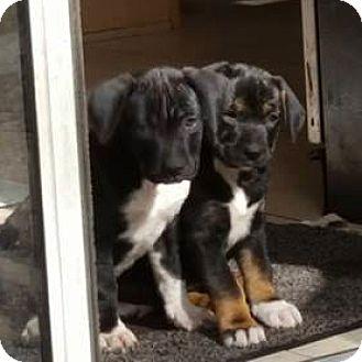 Labrador Retriever Mix Puppy for adoption in Jacksonville, Florida - Lili