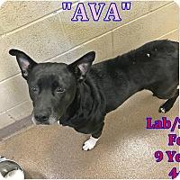 Adopt A Pet :: 1-12 Ava - Triadelphia, WV