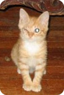 American Shorthair Kitten for adoption in Brooklyn, New York - Major