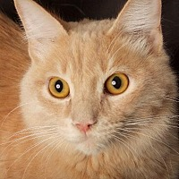 Adopt A Pet :: Moki - Gilbert, AZ