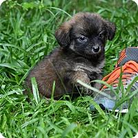 Adopt A Pet :: Skye - South Dennis, MA