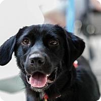 Flat-Coated Retriever/Labrador Retriever Mix Dog for adoption in Alpharetta, Georgia - Mariann