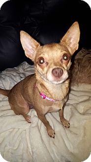 Chihuahua Mix Dog for adoption in Sacramento, California - Peanut!