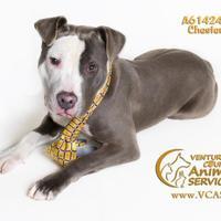 Adopt A Pet :: CHESTER - Camarillo, CA