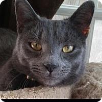 Adopt A Pet :: Max the Cat - Santa Monica, CA