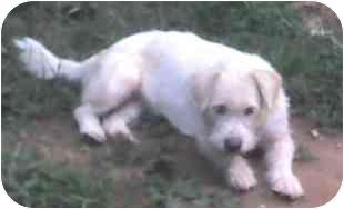Terrier (Unknown Type, Medium)/Scottie, Scottish Terrier Mix Dog for adoption in Inman, South Carolina - Tara