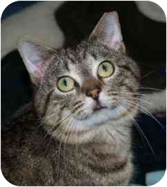 Domestic Shorthair Cat for adoption in Walker, Michigan - Timmy