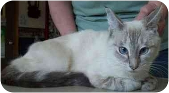 Siamese Cat for adoption in North Judson, Indiana - Sami