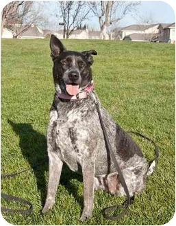Australian Cattle Dog Mix Dog for adoption in Tracy, California - Molly-ADOPTED!