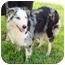 Photo 1 - Australian Shepherd Dog for adoption in Orlando, Florida - Bryleigh